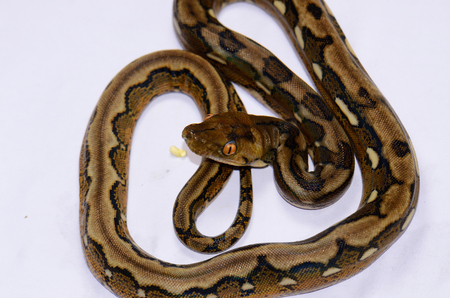 pythons: beautiful baby motley mutation Reticulated Python (Python reticulatus) in terrarium