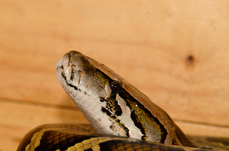 pythons: beautiful Burmese Python (Python bivittatus) sleeping in terrarium