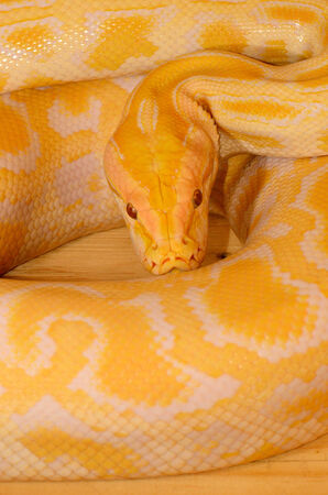 pythons: beautiful albino Burmese Python (Python bivittatus) sleeping in terrarium Stock Photo