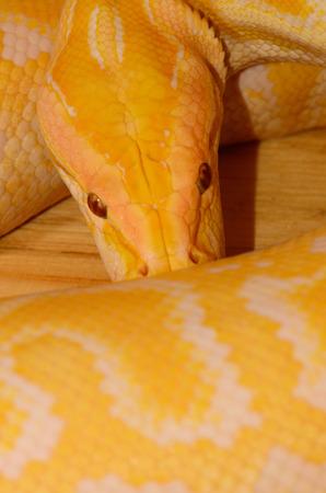 beautiful albino Burmese Python (Python bivittatus) sleeping in terrarium Stock Photo