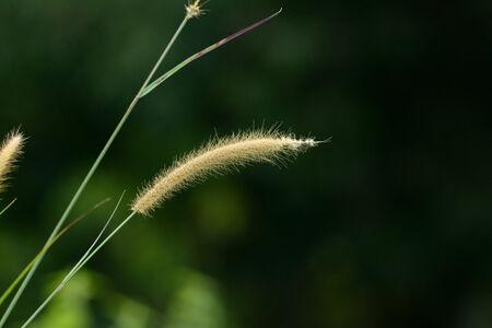 cylindrica: beautiful Blady Grass flower (Imperata cylindrica) at Thai flower garden