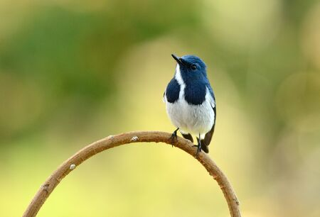 ultramarine: beatiful male Ultramarine Flycatcher (Ficedula superciliaris) possing on the branch
