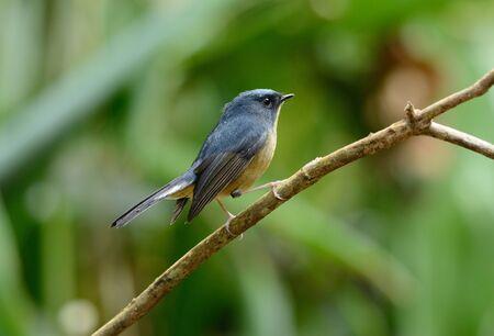 slaty: beatiful male Slaty-blue Flycatcher (Ficedula hodgsonii) possing on the branch