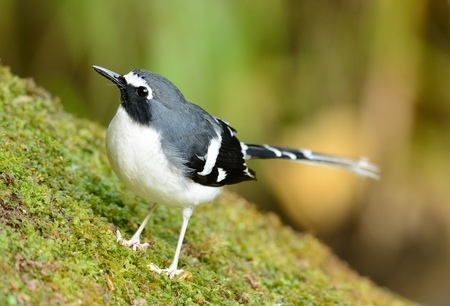 slaty: beautiful slaty-backed forktail (Enicurus schistaceus) in Thai forest
