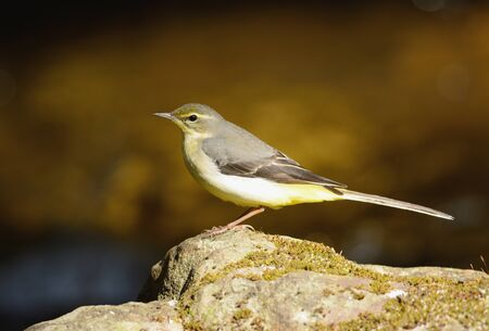 beautiful Gray Wagtail (Motacilla cinerea) in Thai forest photo