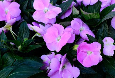 impatiens: beautiful Impatiens flower (Impatiens psittacina) at Thai flower garden