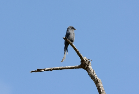 ashy: beautiful ashy drongo (Dicrurus leucophaeus) possing in nature