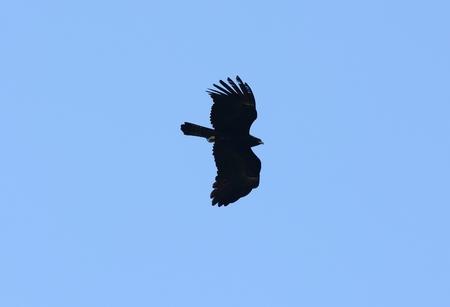flying falcon: beautifu Black Eagle (Ictinaetus malayensis) flying in the sky