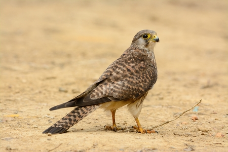 open country: beautiful female Common Kestrel (Falco tinnunculus) standing on ground