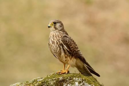 falco: beautiful female Common Kestrel (Falco tinnunculus) standing on ground