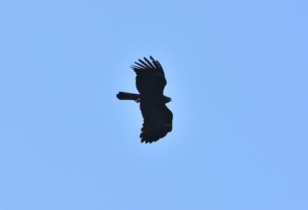 beautifu Black Eagle (Ictinaetus malayensis) flying in the sky