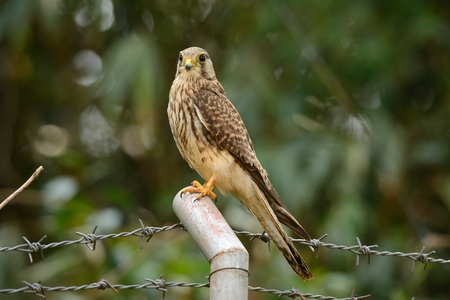 open country: beautiful female Common Kestrel (Falco tinnunculus) standing on fence