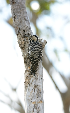 dendrocopos: beautiful female Spot-breasted Woodpecker (Dendrocopos analis) at his hole Stock Photo