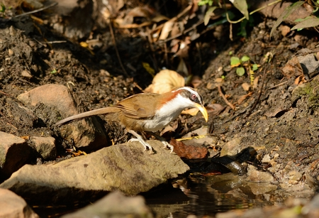 open country: beatiful White-browed Scimitar-Babbler (Pomatorhinus schisticeps) in Thai forest