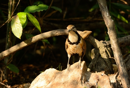 pectoralis: bella laughingthrush Greater Necklaced (Garrulax pettorale) a Huay Kha Khaeng Wildlife Sanctuary, Thaland