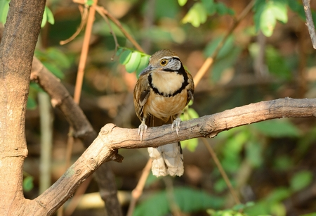 laughingthrush: bella laughingthrush Greater Necklaced (Garrulax pettorale) a Huay Kha Khaeng Wildlife Sanctuary, Thaland