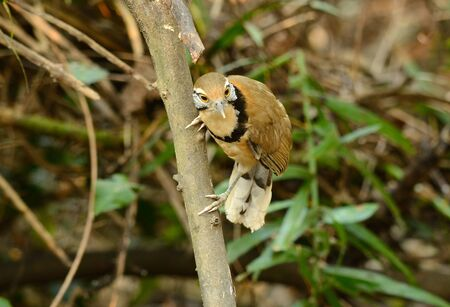 laughingthrush: beautiful Greater Necklaced laughingthrush (Garrulax pectoralis) at Huay Kha Khaeng Wildlife Sanctuary,Thaland Stock Photo