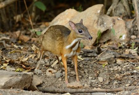 lesser: beautiful male Lesser Mouse-deer or Lesser Oriental Chevrotain (Tragulus javanicus) in Thai forest