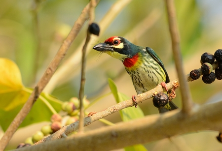 open country: beautiful coppersmith barbet (Megalaima haemacephala) possing on the branch
