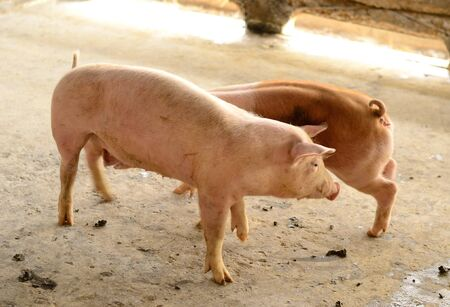 example: example ofThai stlye commercial pig farm Stock Photo