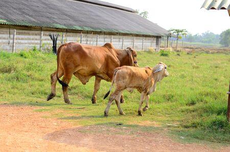 red heifer: ejemplo ofThai stlye granja de ganado comercial Foto de archivo
