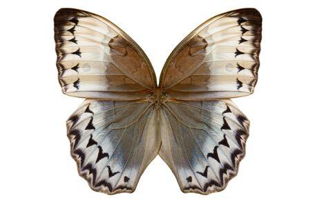 cambodian: Beautiful wing detail of Cambodian Junglequeen Butterfly (Stichophthalma howqua)