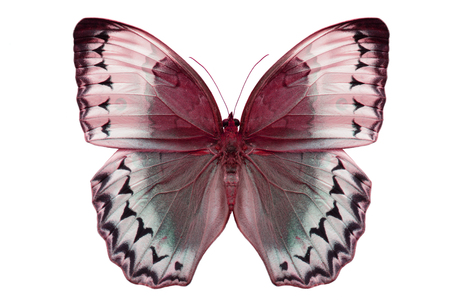 Beautiful Cambodian Junglequeen Butterfly (Stichophthalma howqua) in process color isolated on white