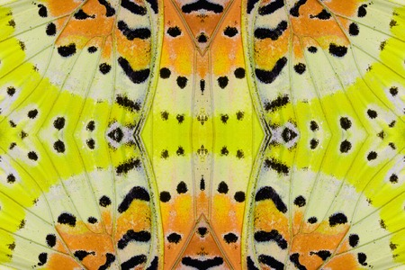 lacewing: Beautiful multicolor pattern background texture made from Leopard Lacewing Butterfly (Cethosia cyane)