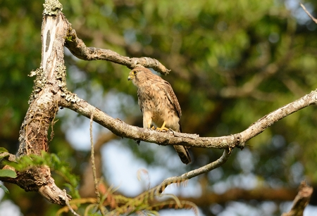 falco: beautiful female Common Kestrel (Falco tinnunculus) standing on fence