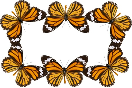 danaus: Beautiful Common Tiger Butterfly (Danaus genutia) in process color isolated on white