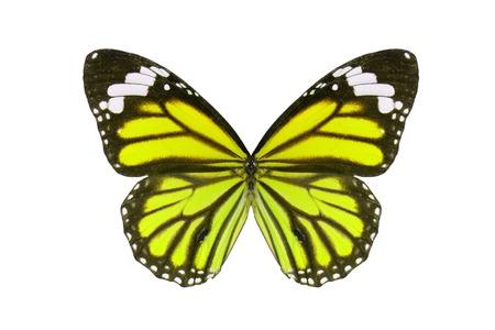 danaus: Beautiful wing detail of Common Tiger Butterfly (Danaus genutia)