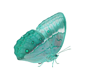 cambodian: Beautiful Cambodian Junglequeen Butterfly (Stichophthalma howqua) in process color isolated on white
