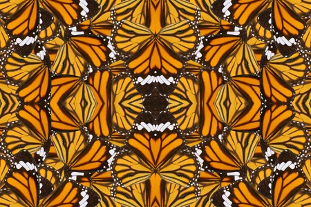 danaus: Beautiful multicolor pattern background texture made from Common Tiger Butterfly (Danaus genutia) Stock Photo
