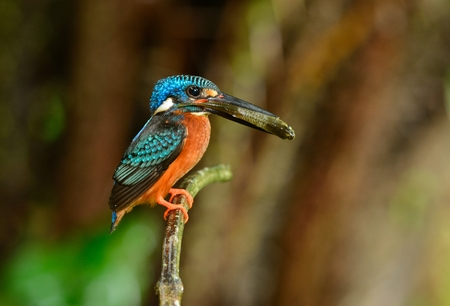 alcedo: beautiful male blue-eared kingfisher (Alcedo meninting) sitting on branch Stock Photo