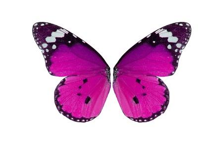 danaus: Beautiful wing detail of Plain Tiger Butterfly (Danaus chrysippus) Stock Photo