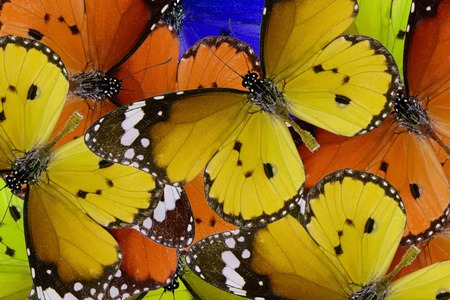 danaus: Beautiful multicolor pattern background texture made from Plain Tiger Butterfly (Danaus chrysippus)