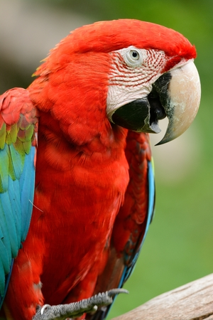 ara: beautiful Green-winged Macaw (Ara chloropterus) as pet Stock Photo