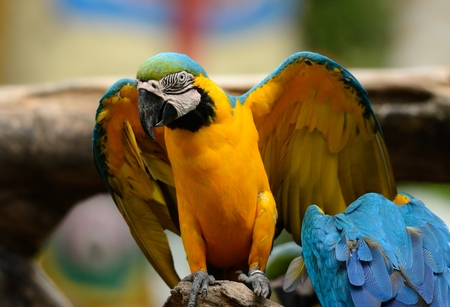 ararauna: beautiful Blue-and-yellow Macaw (Ara ararauna), also known as the Blue-and-gold Macaw