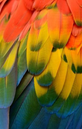 macao: beautiful Scarlet Macaw (Ara macao) back feather