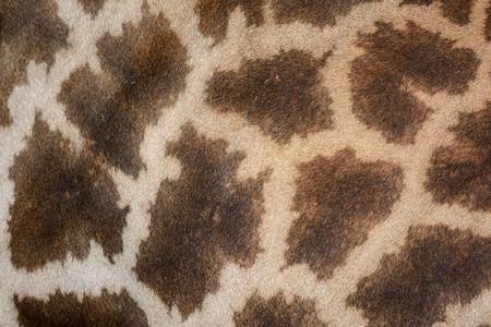 piel: hermosa Jirafa (Giraffa camelopardalis) de la piel para el uso del fondo Foto de archivo
