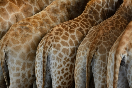 giraffa camelopardalis: beautiful Giraffe (Giraffa camelopardalis) standing in Thai zoo