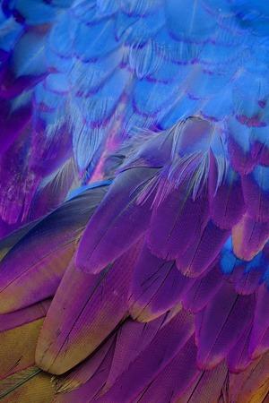 green winged macaw: beautiful Green-winged Macaw (Ara chloropterus) back feather Stock Photo