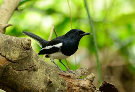 birding: beautiful male oriental magpie-robin (Copsychus saularis) standing on dead tree