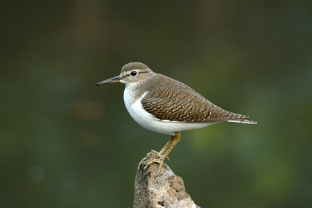 standing alone: beautiful standing alone common sandpiper (Actitis hypoleucos)