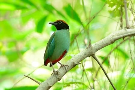 hooded: beautiful hooded pitta inThai forest Stock Photo