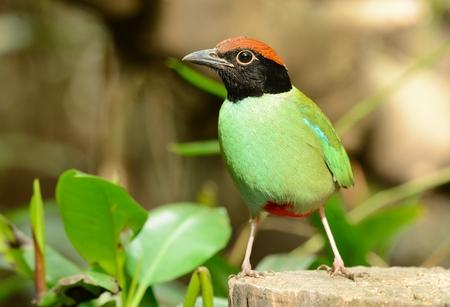 birding: beautiful hooded pitta inThai forest Stock Photo