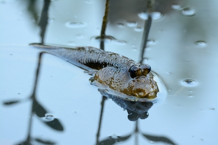 beautiful Mudskipper fish (Boleophthalmus boddarti) in Thai mangroove forest Stock Photo