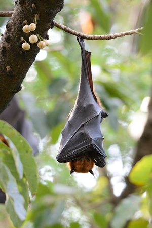 fling: beautiful lyies flyingfox sleeping in the tree