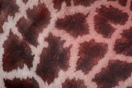 giraffa camelopardalis: beautiful Giraffe (Giraffa camelopardalis) skin for background use