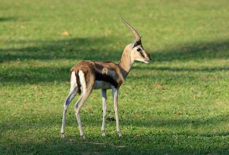 gazelle: beautiful male Thomsons gazelle (Eudorcas thomsonii) standing Stock Photo
